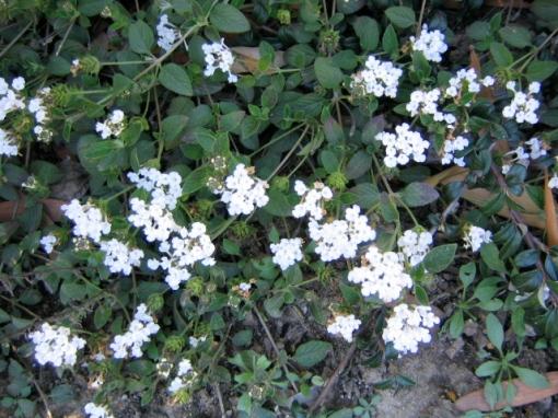 white-flowers.jpg