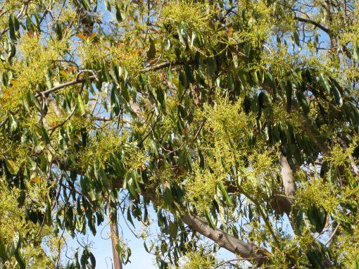 figblooms