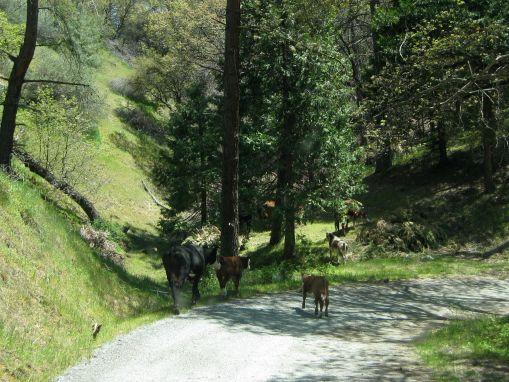herdingcows