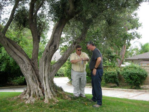 olivetreelog